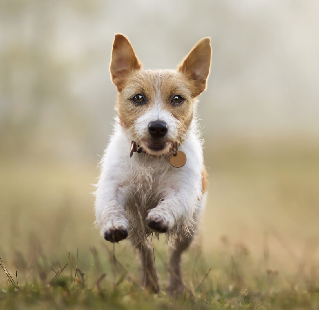 Jumping happy obedient dog puppy listening with funny ears, pet training concept, web banner with copy space